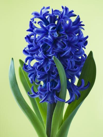Blue Star hyacinth-Clive Nichols-Photographic Print