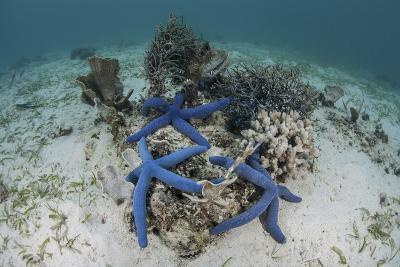 Blue Starfish Cling to a Coral Bommie in Indonesia-Stocktrek Images-Photographic Print