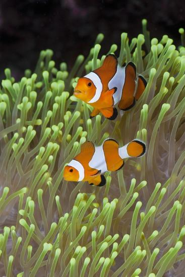 Blue Starfish on a Coral Reef (Linckia Laevigata), Alam Batu, Bali, Indonesia-Reinhard Dirscherl-Photographic Print