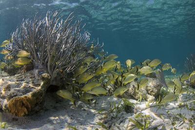 Blue Striped Grunt, Hol Chan Marine Reserve, Belize-Pete Oxford-Photographic Print