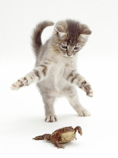 Blue Tabby Kitten Playing with a Common European Toad (Bufo Bufo)-Mark Taylor-Photographic Print