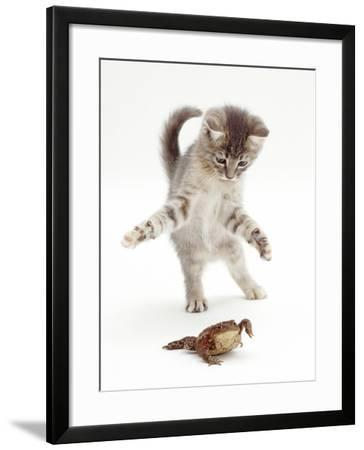 Blue Tabby Kitten Playing with a Common European Toad (Bufo Bufo)-Mark Taylor-Framed Photographic Print