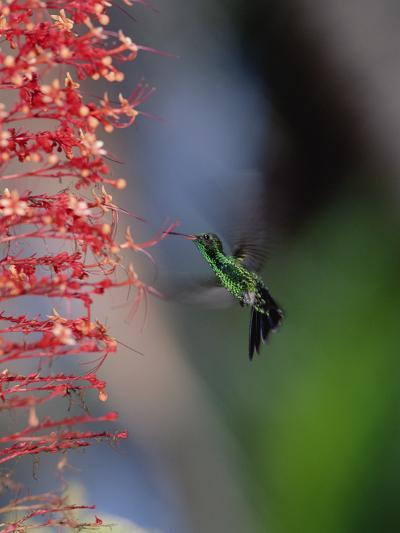 Blue-Tailed Hummingbird (Amazilia Cyanura) Hovering Near Red Flowers, Honduras-Konrad Wothe-Photographic Print
