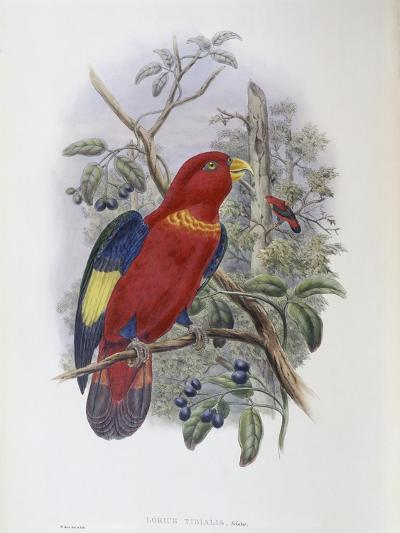 Blue, Thighed Lory-John Gould-Giclee Print