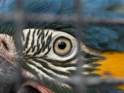 Blue-Throated Macaw, Sedgwick County Zoo, Kansas-Joel Sartore-Photographic Print