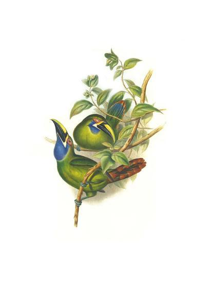 Blue Throated Toucanet-John Gould-Art Print
