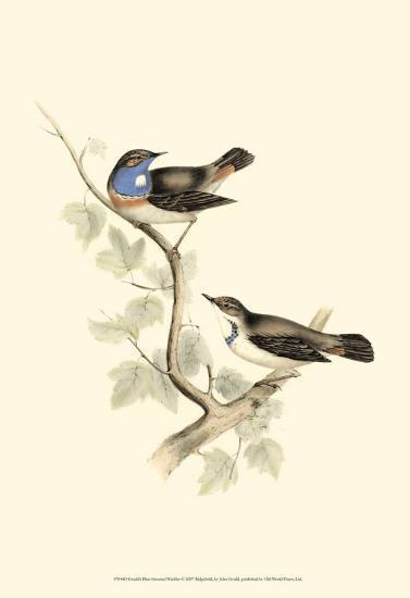 Blue-Throated Warbler-John Gould-Art Print