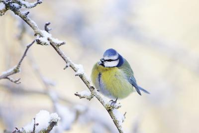 Blue Tit Feathers Puffed Up to Conserve Heat--Photographic Print