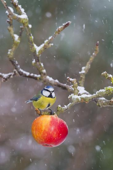 Blue Tit Feeding on Apples in Falling Snow--Photographic Print