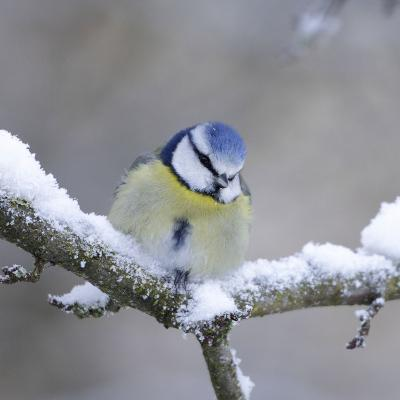 Blue Tit in Winter on Snowy Branch--Photographic Print
