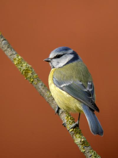 Blue Tit on Branch, Cornwall, UK-Ross Hoddinott-Photographic Print