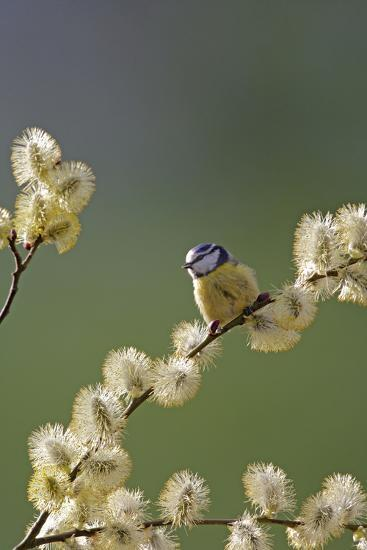 Blue Tit on Pussy Willow--Photographic Print