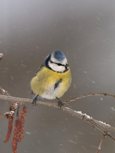 Blue Tit (Parus Caeruleus) on a Snowy Branch During a Snowstorm with its Feathers Fluffed-Dave Watts-Photographic Print