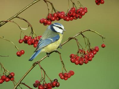 Blue Tit, Perched on Berries-Mark Hamblin-Photographic Print