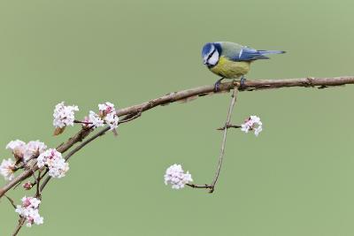 Blue Tit Perched on Flowering Viburnum Bush in Garden--Photographic Print