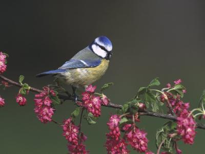 Blue Tit, Perched on Wild Currant Blossom, UK-Mark Hamblin-Photographic Print