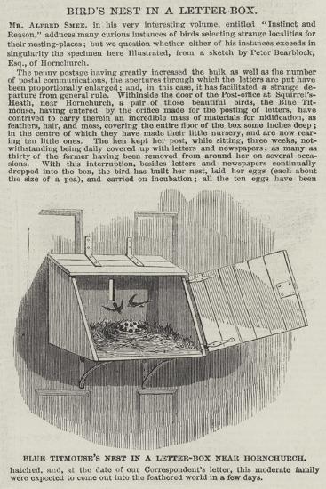 Blue Titmouse's Nest in a Letter-Box Near Hornchurch--Giclee Print