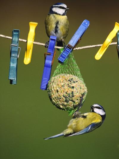 Blue Tits, Feeding on Feeder-Mark Hamblin-Photographic Print