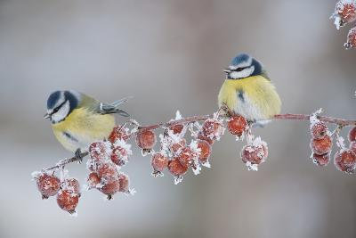 Blue Tits (Parus Caeruleus) in Winter, on Twig with Frozen Crab Apples, Scotland, UK, December-Mark Hamblin-Photographic Print