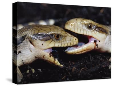 Blue-Tongue Skinks Spar Face-To-Face