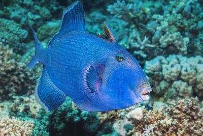 Blue Triggerfish (Pseudobalistes Fuscus). Egypt, Red Sea. Indo-Pacific-Georgette Douwma-Photographic Print