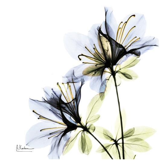 Blue Twin Azalea in Bloom-Albert Koetsier-Art Print