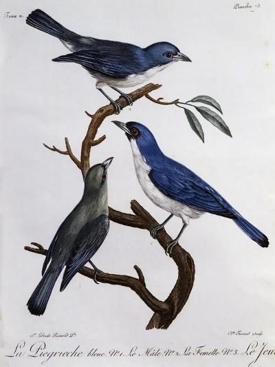 Blue Vanga (Cyanolanius Madagascarinus)--Giclee Print