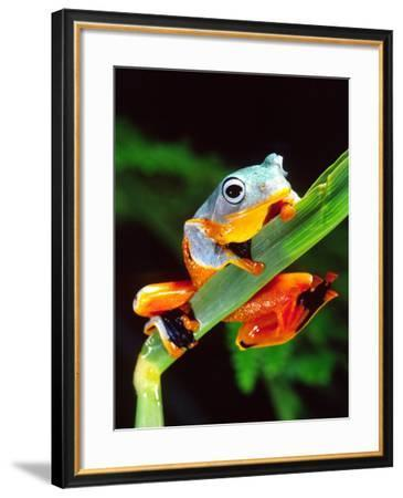 Blue Webbed Gliding Frog, Native to New Guinea-David Northcott-Framed Photographic Print