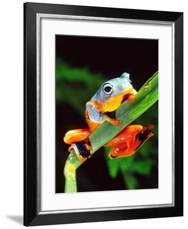 Blue Webbed Gliding Frog, Native to New Guinea-David Northcott-Framed Photographic Print