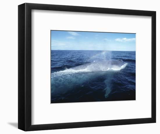 Blue Whale, Blowing, Sea of Cortez-Mark Jones-Framed Photographic Print