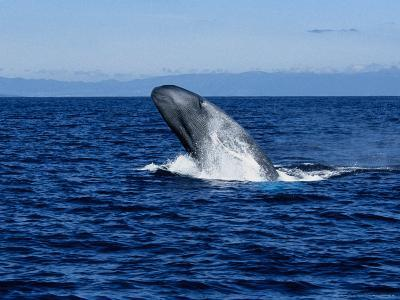 Blue Whale, Breaching, Azores, Portugal-Gerard Soury-Photographic Print