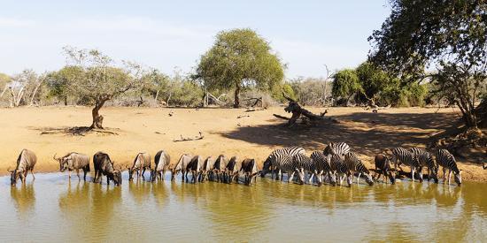 Blue wildebeest and Plains zebra , Mkhuze Game Reserve, Kwazulu-Natal, South Africa, Africa-Christian Kober-Photographic Print