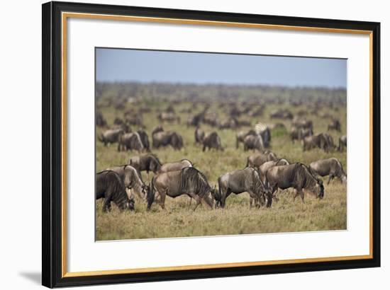 Blue Wildebeest (Brindled Gnu) (Connochaetes Taurinus) Herd-James Hager-Framed Photographic Print