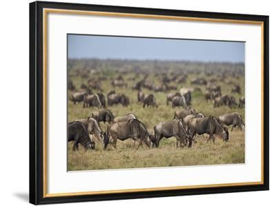 Blue Wildebeest (Brindled Gnu) (Connochaetes Taurinus) Herd-James Hager-Framed Photographic Print