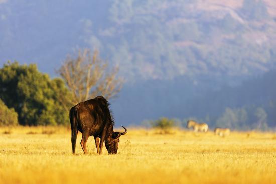 Blue wildebeest (Connochaetes taurinus), Mlilwane Wildlife Sanctuary, Swaziland, Africa-Christian Kober-Photographic Print