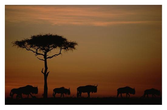 Blue Wildebeest herd migrating at sunset, Kenya-Tim Fitzharris-Art Print