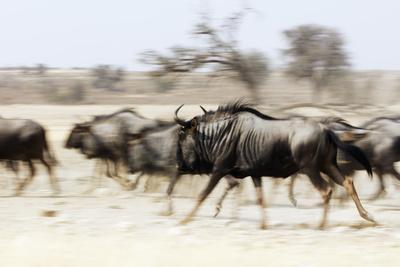 https://imgc.artprintimages.com/img/print/blue-wildebeest-kgalagadi-transfrontier-park-kalahari-northern-cape-south-africa-africa_u-l-q1bog300.jpg?p=0