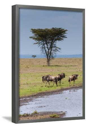 Blue wildebeest, Maasai Mara National Reserve, Kenya-Nico Tondini-Framed Photographic Print