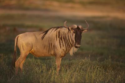 https://imgc.artprintimages.com/img/print/blue-wildebeest_u-l-pzr98l0.jpg?p=0