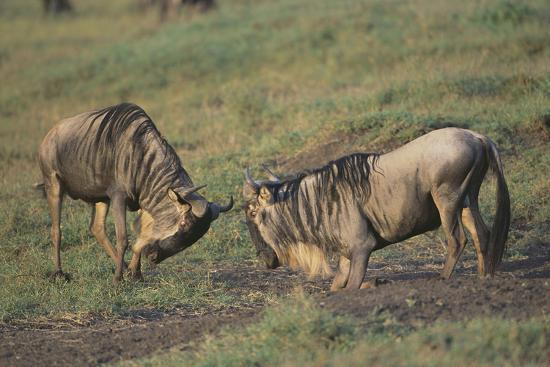 Blue Wildebeests Fighting-DLILLC-Photographic Print