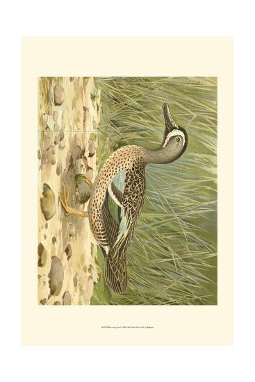 Blue-wing Teal-Ridgeway-Art Print