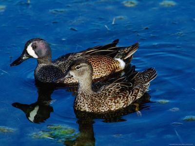 Blue-Winged Teals, Sanibel Island, Ding Darling National Wildlife Refuge, Florida, USA-Charles Sleicher-Photographic Print