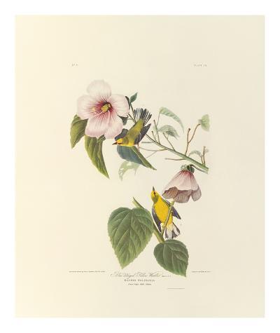 Blue Winged Yellow Warbler-John James Audubon-Premium Giclee Print