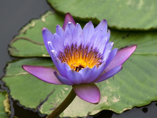 Blue Yellow Water Lily Flowers and Pads, Close-Up, Macro-William Perry-Photographic Print