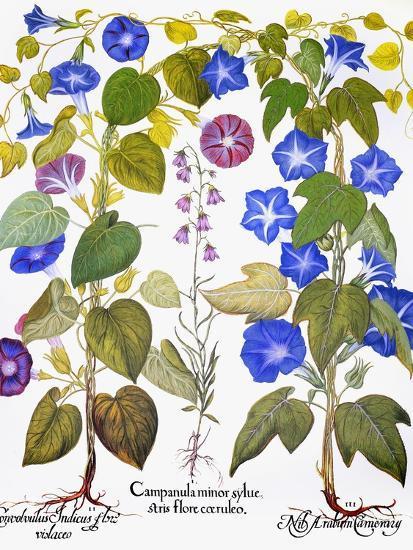 Bluebell And Morning Glory-Besler Basilius-Premium Giclee Print