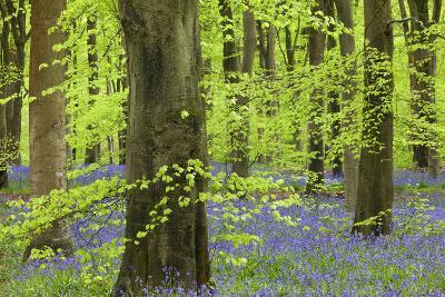 Bluebell Carpet in a Beech Woodland, West Woods, Lockeridge, Wiltshire, England. Spring-Adam Burton-Photographic Print