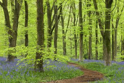https://imgc.artprintimages.com/img/print/bluebell-carpet-in-a-beech-woodland-west-woods-wiltshire-england-spring_u-l-ptz30v0.jpg?p=0