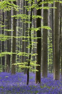 Bluebell Flowers in Forest with Beech Trees
