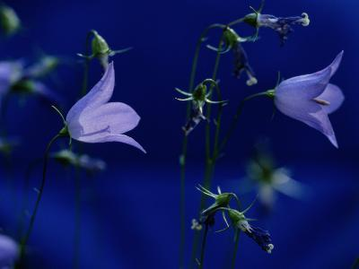 Bluebell Flowers on the Trail to Valley of the Five Lakes-Raymond Gehman-Photographic Print