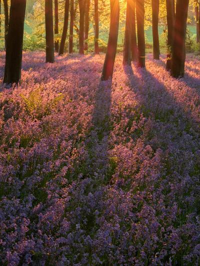 Bluebell Sunset II-Doug Chinnery-Photographic Print